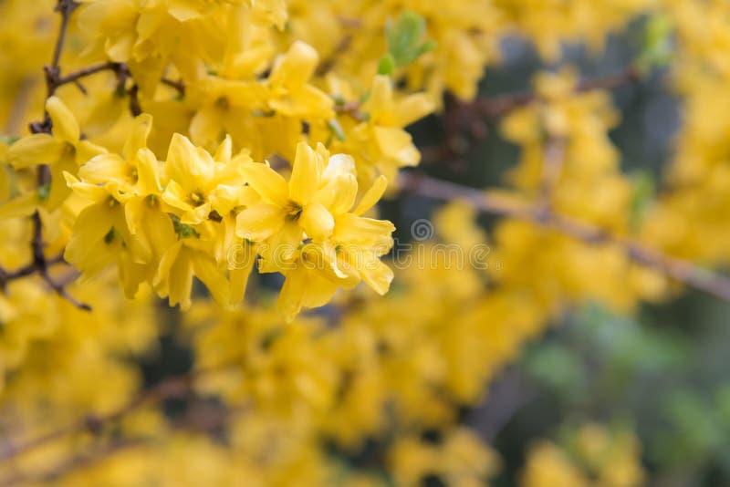 Żółci forsycja kwiaty kwitnie w wiosny zakończeniu obrazy royalty free