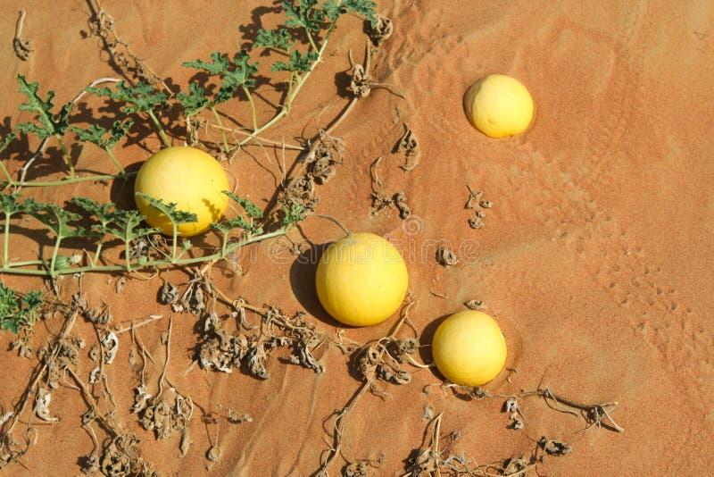 Żółci gorzkich jabłek Citrullus colocynthis w czerwonym piasku Oman dezerterują zdjęcie royalty free