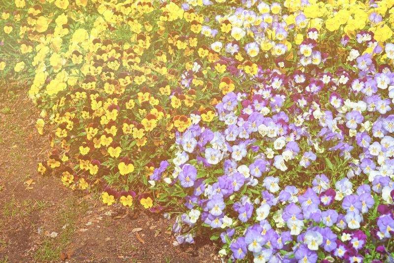 Żółci i błękitni pansies w dużym flowerbed usa zdjęcia stock