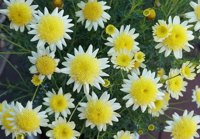 Żółci i biali przylądka marguerite kwiaty obraz royalty free