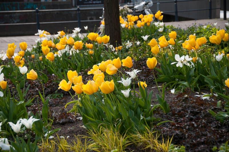 Żółci i biali tulipany w zielenieją ogród zdjęcie royalty free