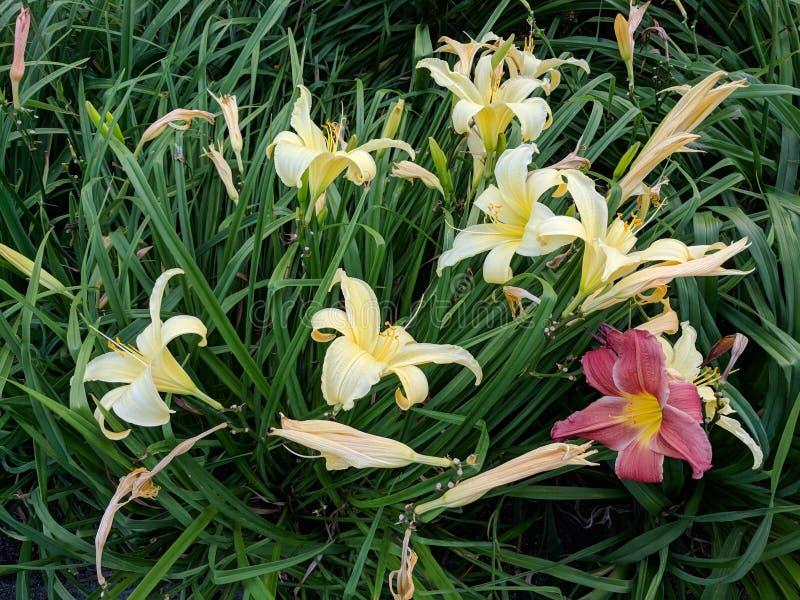 Żółci i Czerwoni Irysowi kwiaty fotografia royalty free