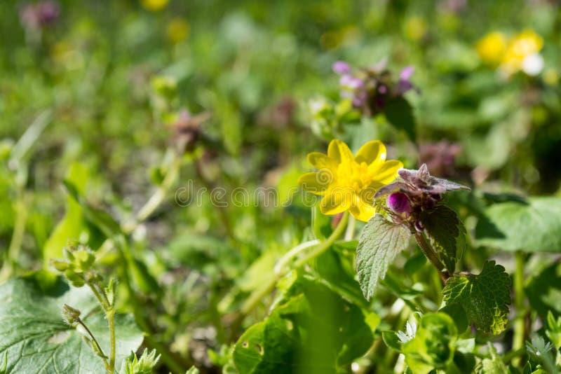 Żółci i fiołkowi wiosna kwiaty zielenieją pogodnej zbliżenie natury pięknego tło obrazy stock