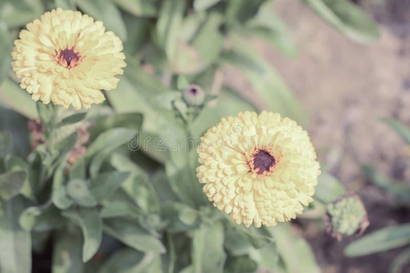 Żółci i pomarańczowi nagietków kwiaty Tagetes jest genus lub zielnymi roślinami w słonecznikowej rodzinie odwiecznie, przeważnymi zdjęcia royalty free