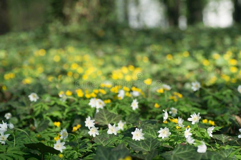 Żółci jaskiery i biali anemony kwitną na łące w parku obrazy royalty free