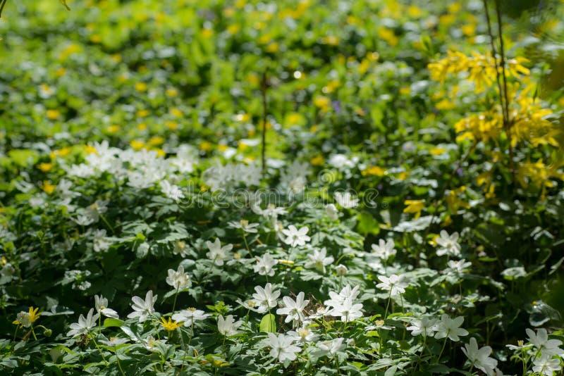 Żółci jaskiery i biali anemony kwitną na łące w parku obrazy stock