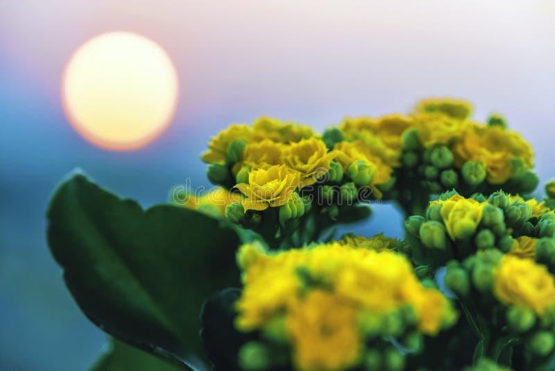 Żółci jaskrawi kwiaty z zielonymi liśćmi przy zmierzchem, przeciw różowemu niebieskiemu niebu zdjęcia royalty free