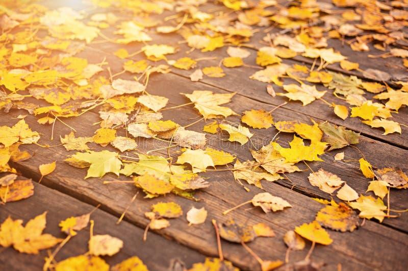 Żółci jesień liście na drewnianego tła jesieni liści Pięknym kolorze żółtym rozgałęziają się abstrakcjonistycznego tło, liścia sp zdjęcia royalty free