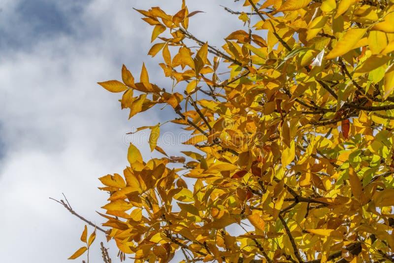 Żółci jesień spadku liście fotografia royalty free