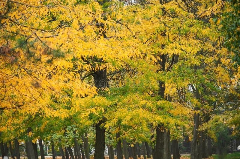 Żółci jesieni drzewa w parku, rozgałęziają się i opuszczają jako tło obraz stock