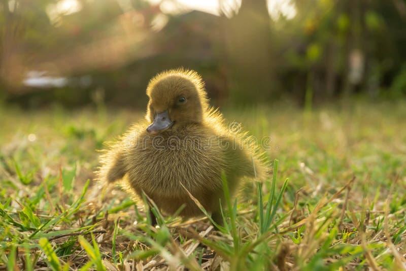 Żółci kaczątka chodzą na trawie w wieczór obrazy stock