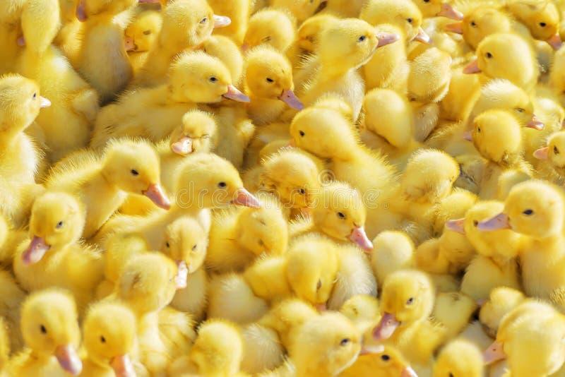 Żółci kaczątka sprzedający w wiejskim rynku Mali puszyści dzieci kurczątka zdjęcie royalty free