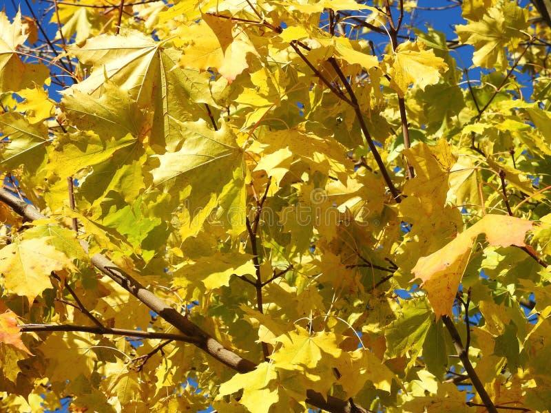 Żółci klonowego drzewa liście, Lithuania fotografia royalty free