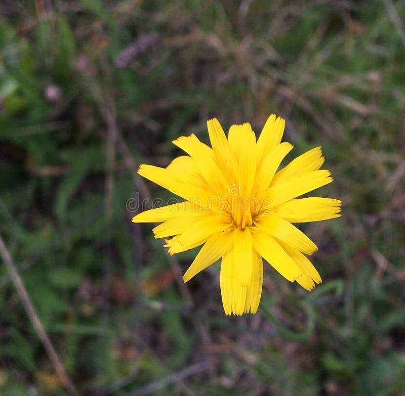 Żółci kwiatu Leontodon autumnalis, perennial kwitną od Czerwa Wrzesień w pogodnym punkcie na łące zdjęcia royalty free