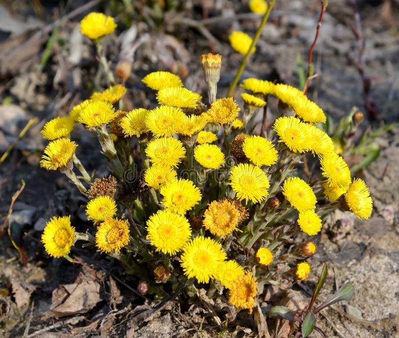 Żółci kwiaty coltsfoot Tussilago zwyczajny farfara L zdjęcie royalty free