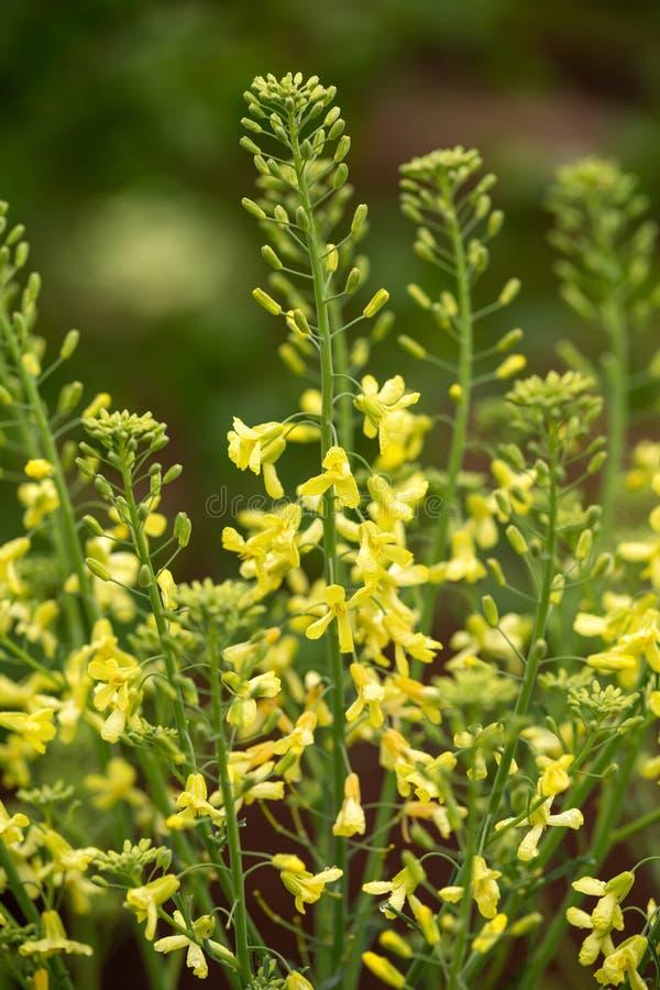 Żółci kwiaty kędzierzawy kale dla następnej nasieniodajnej kolekcji w wiośnie uprawiają ogródek fotografia stock