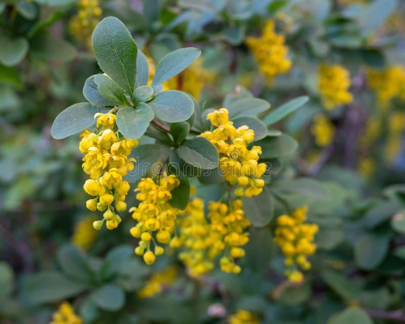 Żółci kwiaty leczniczej rośliny berberys pospolity fotografia stock