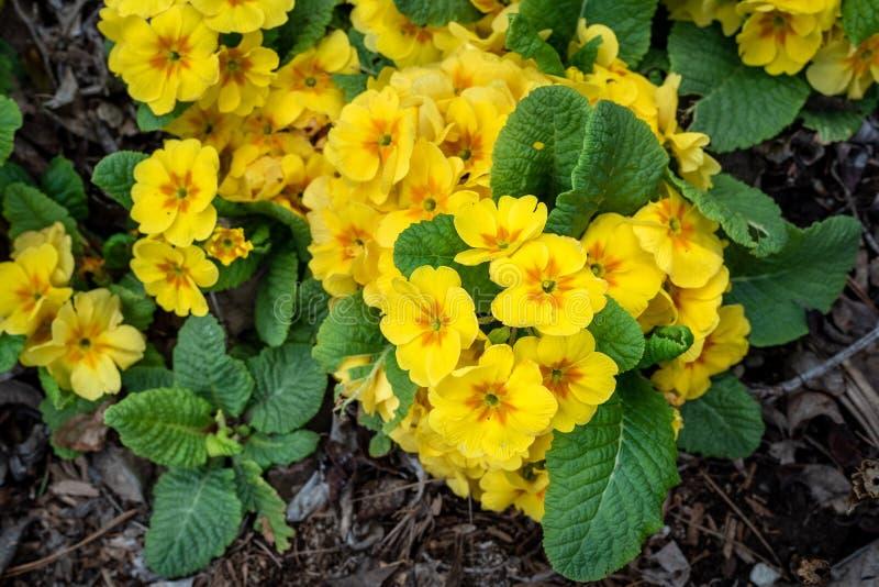 Żółci kwiaty pierwiosnkowe rośliny kwitnie w domu ogródzie jako tło, wiosna w Pacyficznym północnym zachodzie obraz royalty free