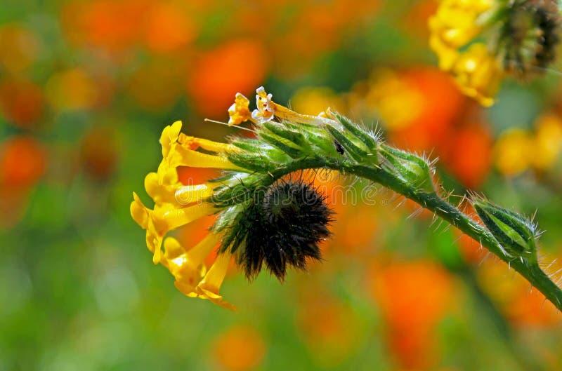 Żółci kwiaty pospolity fiddleneck obrazy stock