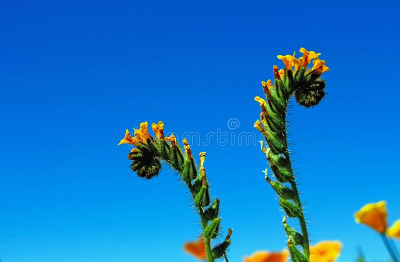 Żółci kwiaty pospolity fiddleneck obrazy royalty free