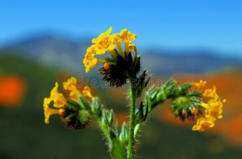 Żółci kwiaty pospolity fiddleneck fotografia stock