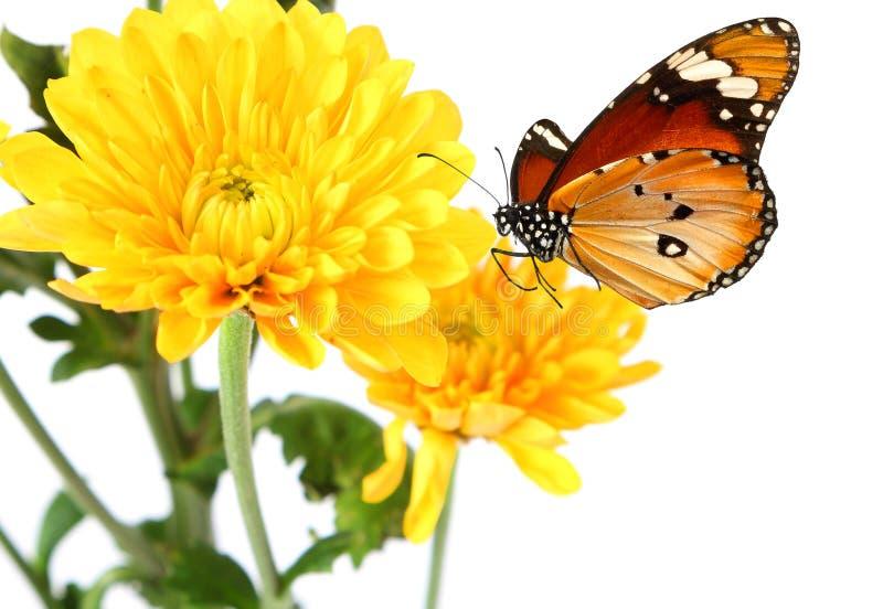 Żółci kwiaty stokrotka motyla i asteru ćma Saturnia pyri Lepidoptera: Saturniidae obraz royalty free