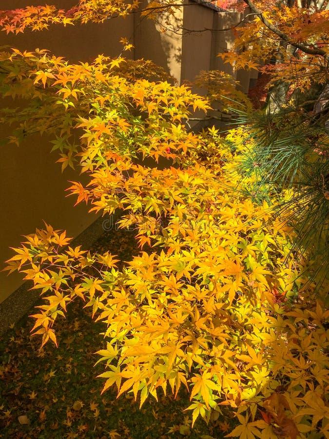 Żółci liście klonowi które są światłem słonecznym dla tła obrazy royalty free