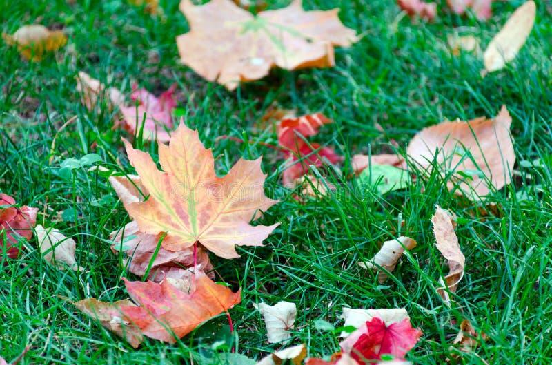 Żółci liście klonowi na zielonej trawie w parku obraz royalty free