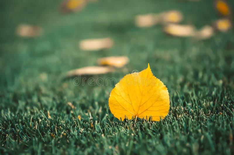 Żółci lipowi liście kłamają na zielonym gazonie zdjęcia royalty free