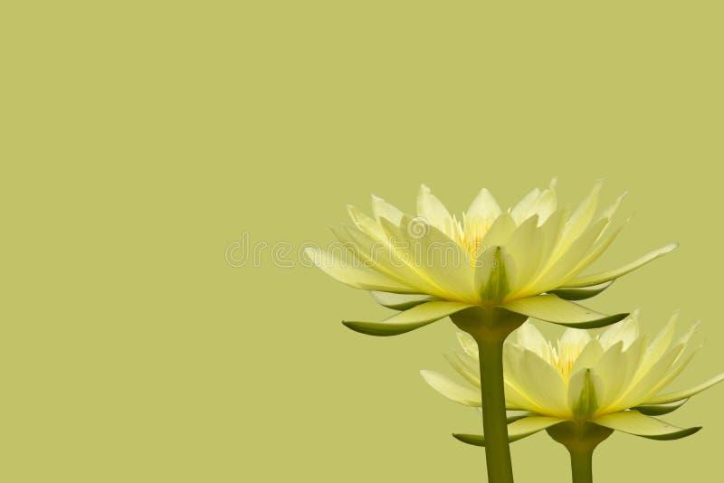 Żółci lotosu Dwa kwiaty na żółtym tle zdjęcie royalty free