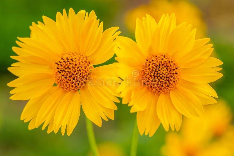 Żółci Meksykańscy słoneczniki z Bokeh Backgound Łąkowym zbliżeniem fotografia royalty free