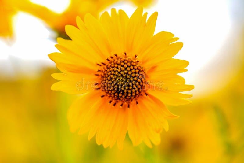 Żółci Meksykańscy słoneczniki z ziarna zbliżeniem zdjęcie royalty free