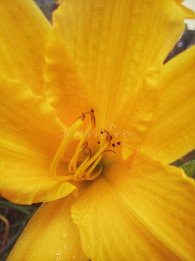 Żółci płatki i ładni anthers fotografia royalty free