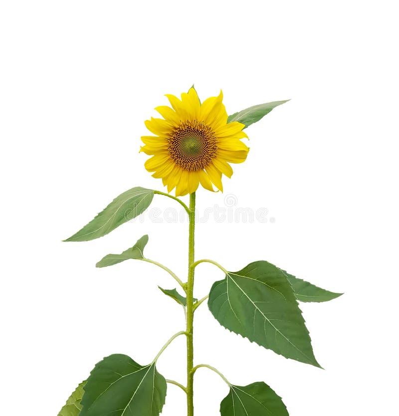 Żółci płatki Słonecznikowy kwitnienie na trzonie i zieleni opuszczają odosobniony na białym tle, umierają cięcie z ścinek ścieżką obrazy stock