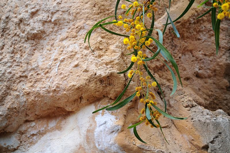 Żółci piórkowaci kwiaty sally chrustowy zdjęcie royalty free