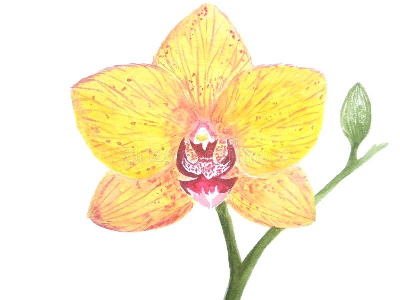 Żółci piękno akwareli orchidei kwiaty zdjęcie stock