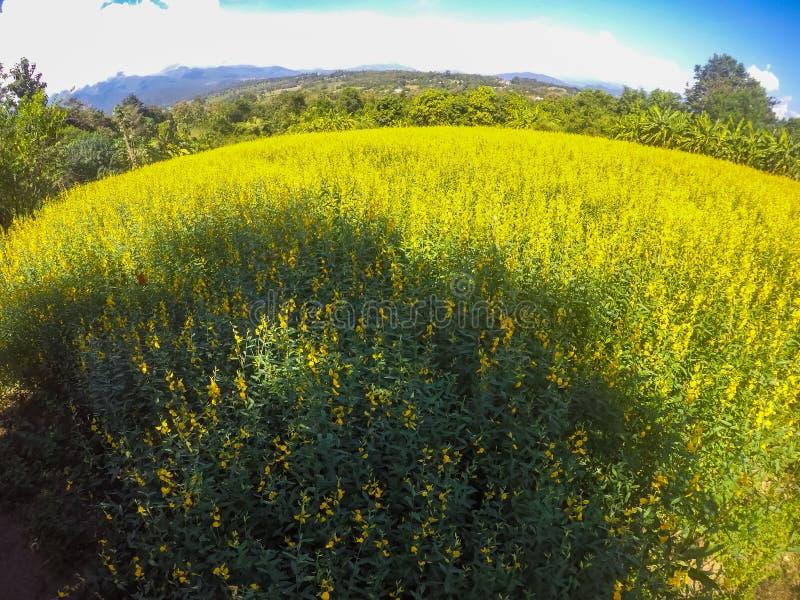 Żółci pola Crotalaria junceasunn konopie i piękny niebo w Pai, Mae Hong syn, Północny Tajlandia fotografia royalty free