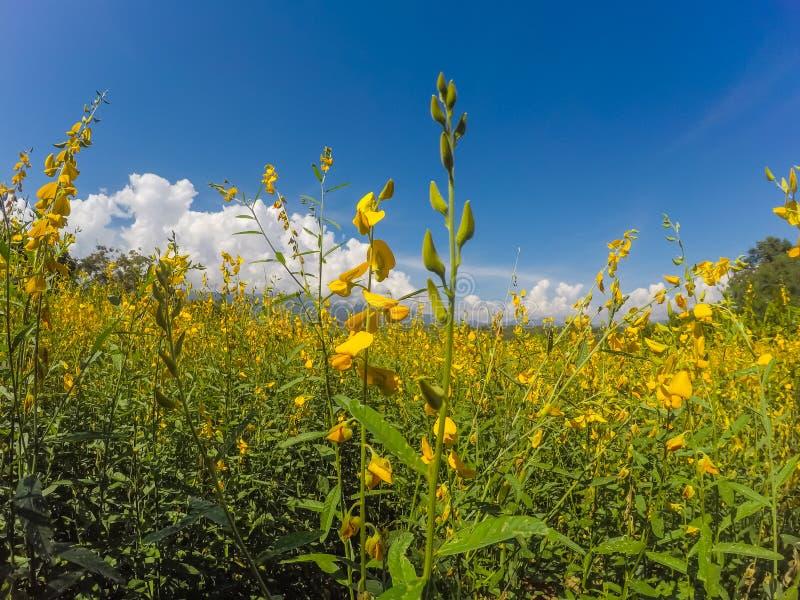 Żółci pola Crotalaria junceasunn konopie i piękny niebo w Pai, Mae Hong syn, Północny Tajlandia obraz stock