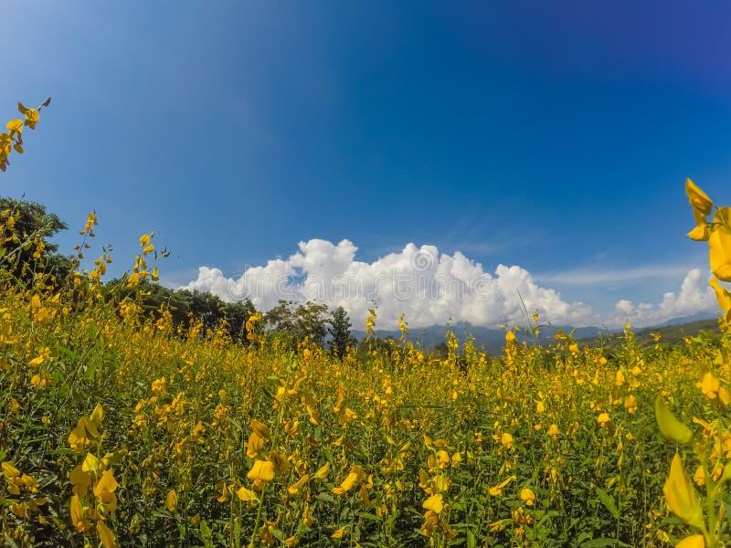 Żółci pola Crotalaria junceasunn konopie i piękny niebo w Pai, Mae Hong syn, Północny Tajlandia zdjęcia royalty free