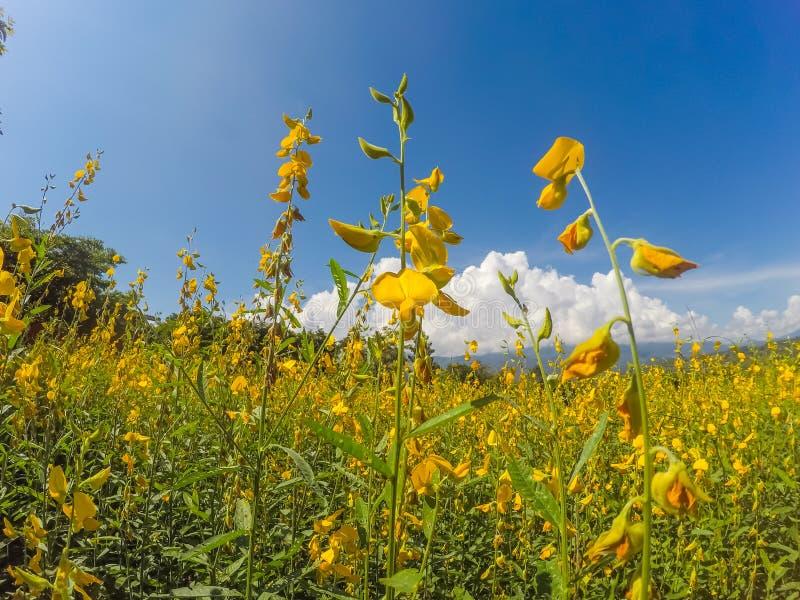 Żółci pola Crotalaria junceasunn konopie i piękny niebo w Pai, Mae Hong syn, Północny Tajlandia zdjęcia stock