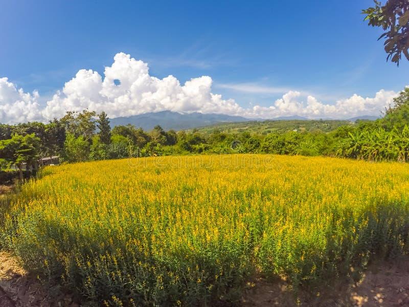 Żółci pola Crotalaria junceasunn konopie i piękny niebo w Pai, Mae Hong syn, Północny Tajlandia obrazy royalty free