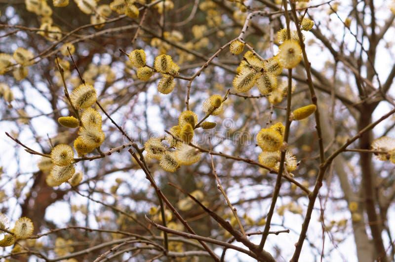 Żółci rostovskie pączki wierzbowa wiosna owłoseni pączki kici wierzba obraz stock