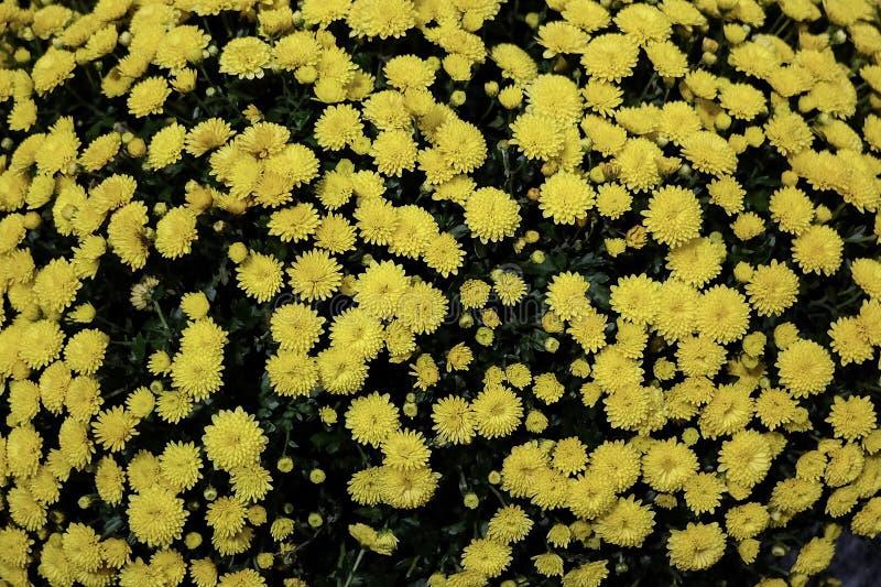 Żółci stokrotka krzaki zdjęcie stock