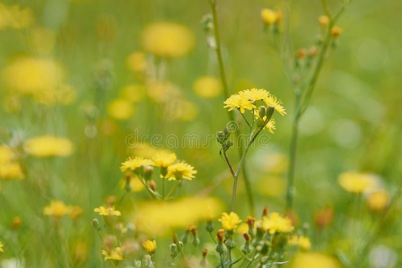 Żółci szorstcy hawksbeard kwiatu Crepis biennis zdjęcia stock