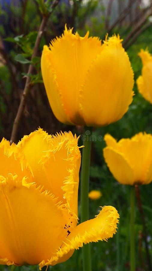 Żółci Terry tulipany w ogródzie zdjęcie royalty free