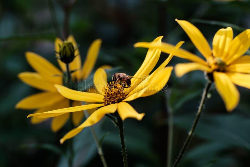Żółci topinamburów kwiaty fotografia royalty free