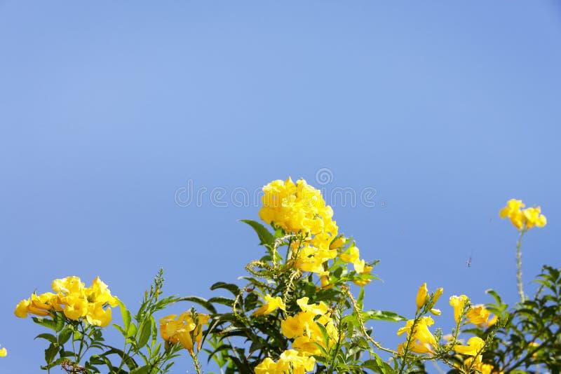 Żółci tropikalni kwiaty przeciw niebieskiemu niebu zdjęcia stock