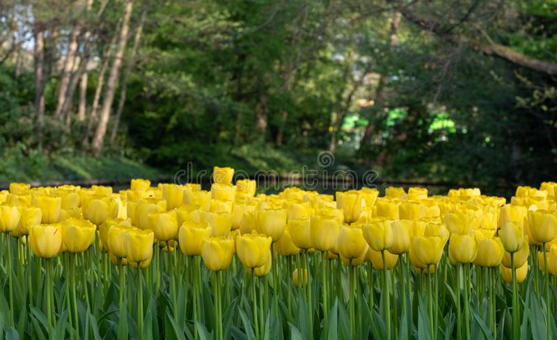 Żółci tulipany przegapia jezioro przy Keukenhof ogródami, Lisse, Południowy Holandia Keukenhof zna jako ogr?d fotografia stock