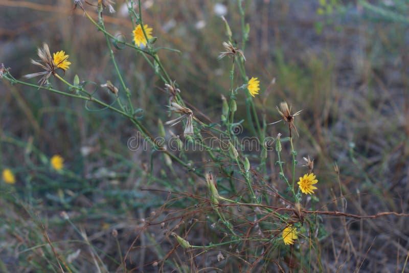 Żółci wildflowers kwitnie ciernie obraz stock