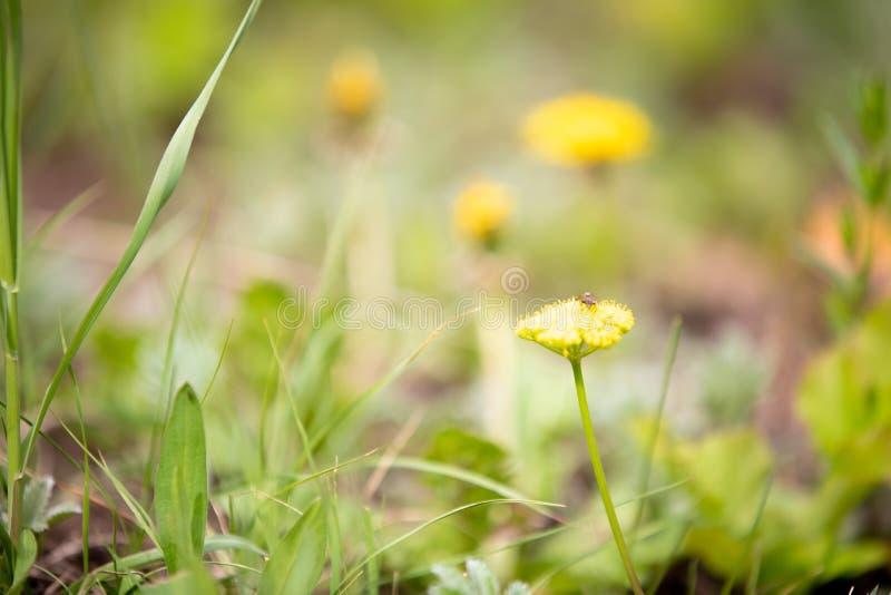 Żółci Wildflowers w Skalistej góry parku narodowym obrazy royalty free